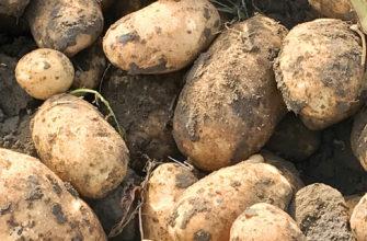 лечение парши на картофеле