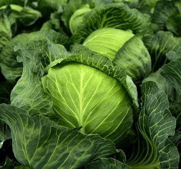 как выращивать раннюю капусту