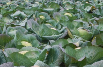 фото капуста в поле