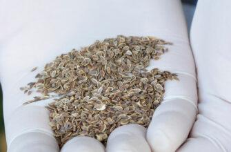 фото семена