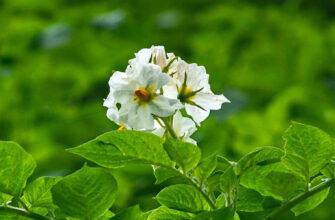 фото картофель цветы