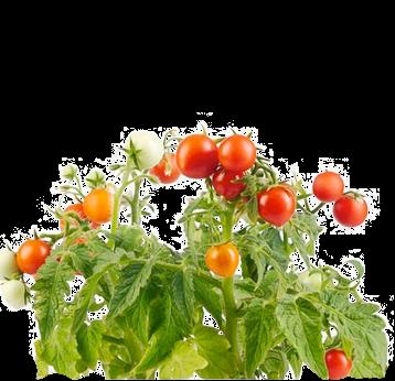 семена низкорослых томатов