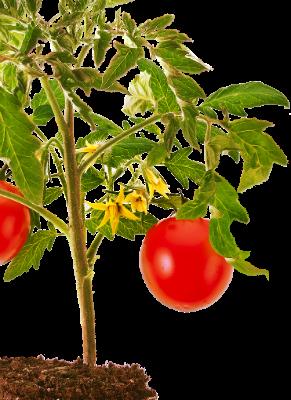 Купить семена томатов высокорослых