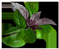 семена базилика фиолетового и зеленого