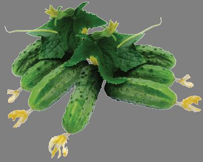Купить семена корнишонных огурцов